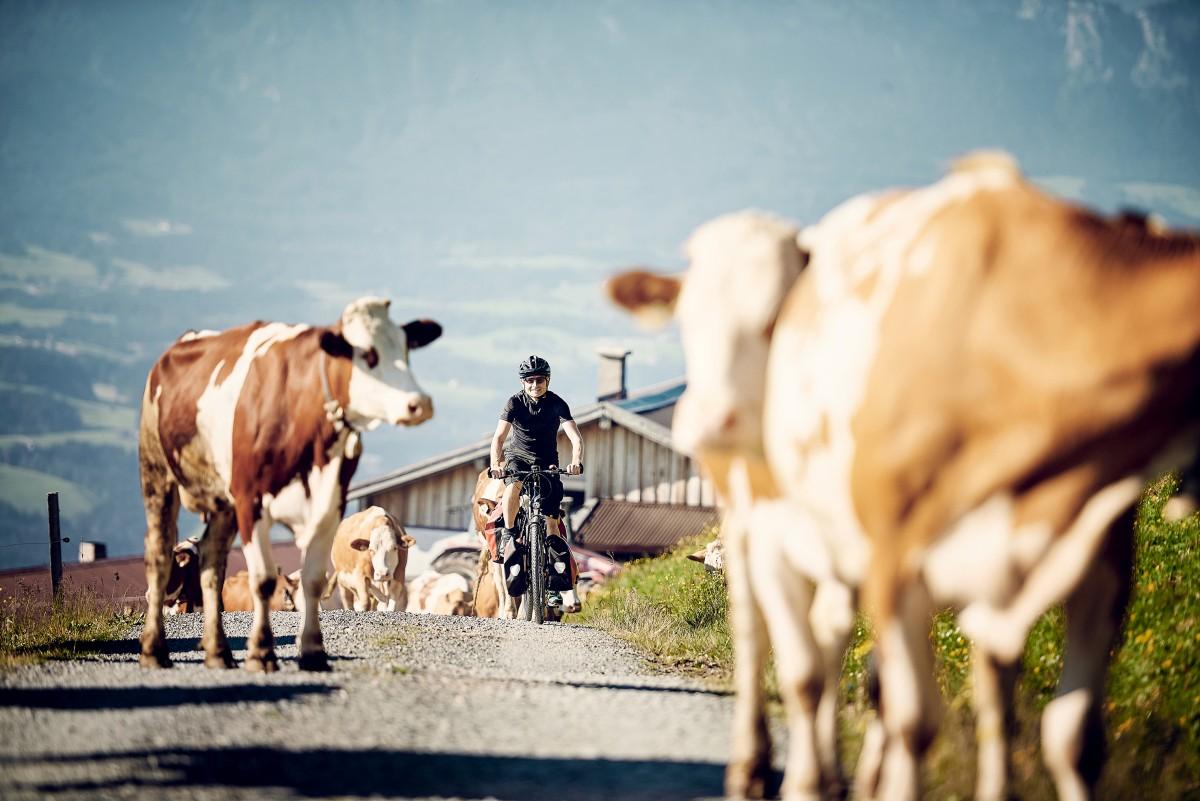 Een fietser in actie tussen de koeien